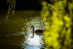 From behind the curtain (tonguedevil) Tags: outdoor outside countryside spring nature river water reflections ripples tree branches laburnum leaves goose bird colour light sunlight shadows