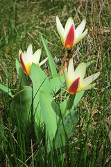 tulips in the grass :) (green_lover (I wait for your COMMENTS!)) Tags: flowers tulips plants green nature garden spring grass three ourdailychallenge