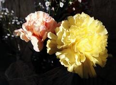 Carnation (Anna Gelashvili) Tags: гвоздика carnation flower цветочки цветок flowers цветы растение ყვავილი
