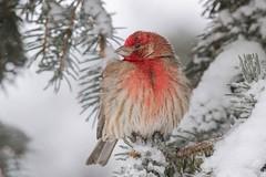 248 house finch (starc283) Tags: flickr flicker starc283 wildlife bird birding birds finch red canon 7d outdoors outdoor grass animal tree food naturewatcher naturesfinest