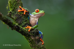 Red-eyed Tree Frog Clings To A Moist Branch (brucefinocchio) Tags: redeyedtreefrog treefrog frog amphibian agalychniscallidryas moistbranch froghaven caribbeanlowlands costarica