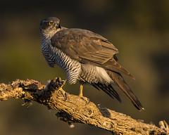 Goshawk (Bill Richmond) Tags: goshawk northern accipitergentilis accipitridae accipitriformes birdsofprey raptors spain nikond810 nikon500f4 female