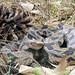 Timber Rattlesnake 1238