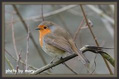 ROBIN (maryimackins) Tags: robin bird wildlife kent mary mackins