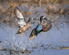 Blue-winged Teal - 1386 (RG Rutkay) Tags: bluewingedteal lyndeshoresconservationarea nature wildlife birds ducks flight spring marsh wetlands flying