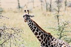 Masai Giraffe (Ralph Apeldoorn) Tags: giraffe mammal nationalpark serengeti serengetinationalpark simiya tanzania tz masaigiraffe