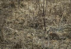 Camuflaje por quietud (Markus' Sperling) Tags: conejo conill fauna animal quietud mimetizar camuflaje