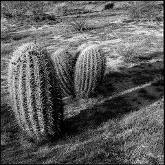 Three (greenschist) Tags: usa barrelcactus sonorandesert cacti blackwhite arizona pinalcounty cactus santanmountainregionalpark