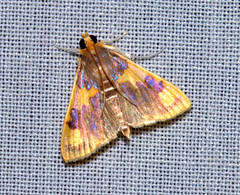 ecosystem/fauna/Crambid Moth(Rehimena phrynealis) (biodiversity western ghats(before it is gone)) Tags: taxonomy:binomial=rehimenaphrynealis crambidae diversityindia indianmoths spilomelinae