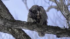 Grand Duc d'Amérique / Great Horned Owl (richard.hebert68) Tags: nikon d850 300mmf4pf domainemaizerets québec forêts bleu grandduc hiver canada