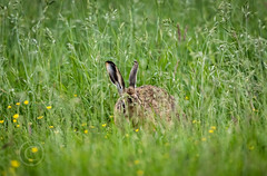 Wildlife around Magdalen June 2018 381 (Mark Schofield @ JB Schofield) Tags: reservoir water peat moorland bog moss agriculture yorkshire huddersfield wessenden head pule buckstones scammonden royd edge valley holme colne marsden meltham digley march haigh west nab deer emley mast lapwing curlew hare bird wildlife oyster catcher chick young short eared owl pennine way south pennines peak national park trust hills moors vallies hunting little duck mallard grouse kestrel red grey wagtail flight fly
