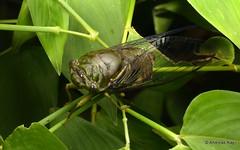 Handsome Cicada (Ecuador Megadiverso) Tags: andreaskay cicada cicadidae ecuador hemiptera jardinbotanicolasorquideas