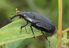 South American Palm Weevil Rhynchophorus palmarum (tristanba) Tags: coleoptera dryophthoridae