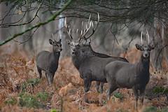 New Forest sika (Wildlife Online) Tags: japanesesika sikadeer cervusnippon cervus nippon deer wildlife animal mammal newforestdeer newforest newforestsika invasivespecies introduceddeer ukdeer britishdeer britishwildlife ukwildlife marcbaldwin wildlifeonline