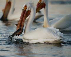 Got It! (dcstep) Tags: pelican feeding americanwhitepelican cherrycreekstatepark cherrycreekreservoir water lake reservoir bird sonya9 handheld fe400mmf28gmoss fe20xteleconverter allrightsreserved copyright2019davidcstephens dxophotolab220 dxoprimenoisereduction dsc8978dxo