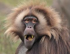 Gelada Blijdorp 094A0499 (j.a.kok) Tags: animal africa afrika aap mammal monkey primate primaat baboon baviaan roodborstbaviaan gelada zoogdier dier blijdorp