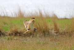 IMG_3266 (Gronk 08) Tags: parkgate wirral short eared owl wild bird cheshire