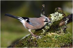 Eurasian jay (Mike Slade.) Tags: eurasianjay garrulusglandarius bird burrator dartmoor devon ©mikeslade