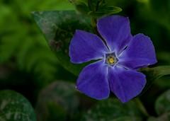 Purple flower (akatsoulis) Tags: 50mm d5300 nikon marumimacrofilter flowers micro microfilter closeup warboroughgreen wallingford southeast oxford purpleflower
