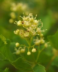 Пробуждение / Awakening (Владимир-61) Tags: весна май природа цветы цветение зеленый желтый spring may flower blossom green yellow sony ilca68 minolta 28135