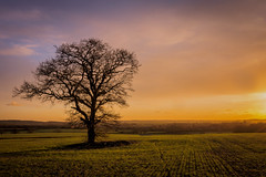 Evening Light (Jez22) Tags: lone lonely tree field sundown sunset fadinglight color colour bright orange dusk rural kent england woodchurch branches sillhouette copyright jeremysage