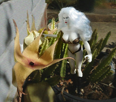 Lady Death visits the foul smelling Carrion Plant blooming in her garden (Cremdon) Tags: 16scale actionfigures carrionplant stapeliagigantea ladydeath
