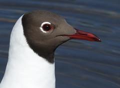 Black Headed gull (hedgehoggarden1) Tags: blackheadedgull gull birds wildlife nature creature animal sonycybershot norfolk eastanglia uk sony bird