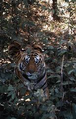 Bengal tiger, Kahna National Park in Madhya Pradesh India (inyathi) Tags: india indianwildlife madhyapradesh bengaltiger tigers pantheratigris pantheratigristigris bigcats cats carnivores predators nationalparks kanha