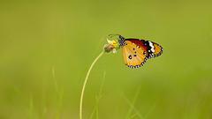 DSC09599 (marekfiser@gmail.com) Tags: burma myanmar mandalay danaus monarch butterfly macro voigtlander apo lanthar green insect lepidoptera rhopalocera