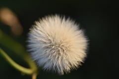 Pompón blanco (esta_ahi) Tags: santcugatsesgarrigues vilanos flora plantas silvestres compositae asteraceae penedès barcelona spain españa испания