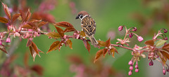 Tree sparrow (Jongejan) Tags: treesparrow flower bird spring animal banch leaves wildlife outdoor outside outdoors ornithology birding feather