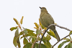 Sombre Greenbul (m) (Roy Lowry) Tags: andropadusimportunus sombregreenbul capetown kirstenbosch kirstenboschnationalbotanicgardens