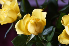 DSC_2474 (PeaTJay) Tags: nikond750 sigma reading lowerearley berkshire macro micro closeups gardens indoors nature flora fauna plants flowers bouquet rose roses rosebuds