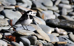 Pied Wagtail. (Chris Kilpatrick) Tags: chris canon canon7dmk2 outdoor onchan wildlife nature animal bird piedwagtail isleofman beach pebbles happyvalley kingedwardbay sigma150mm600mm