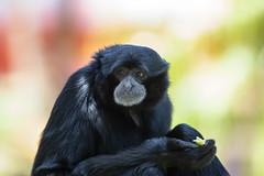 376A8339 (bon97900) Tags: monkey gibbon adelaidezoo south australia southaustralia