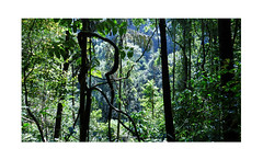 Tropical Rainforest Sculpture (Sam H. Maas) Tags: wald wood baum tree pflanzen landschaft landscape outdoor ausen srilanka berge mountain stamm forest tropicalrainforest tropischerregenwald tropen