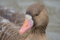 Белолобый гусь, Anser albifrons albifrons, Greater White-fronted Goose (Oleg Nomad) Tags: белолобыйгусь anseralbifronsalbifrons greaterwhitefrontedgoose птицы фотоохота москва brid aves moscow