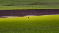 Au milieu... Un lièvre. (Alexandre LAVIGNE) Tags: hdpentaxdfa150450mm pentaxk1 ombredesnuages lapin ambiance champs k1 lièvre lumière nature terre vert éclaircie picardiehautsdefrance