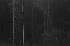 danse macabre III (Mindaugas Buivydas) Tags: lietuva lithuania bw autumn fall november tree trees forest dark darkness fog mist paneriųmiškas paneriaiforest sadnature dansemacabre mindaugasbuivydas