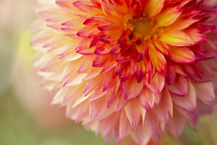 Winter Sun (Synapped by Renae Smith) Tags: dahlia flower peach coral pink
