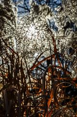 Natural Illuminations (daisyglade) Tags: grass seeds sunlight february illumination cslewis naturalbeauty nature