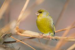 Mr. Citron (DorianHunt) Tags: birds bokeh backyard servion switzerland february 2019 nikond500 sigma 150600mm greenfinch
