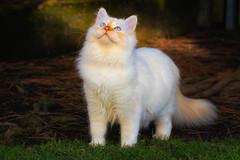 Dragon in the woods (FocusPocus Photography) Tags: tofu dragon katze kater cat chat gato tier animal haustier pet garten garden natur nature