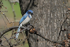 California Scrub-Jay - Aphelocoma californica - Lake Solano County Park, Yolo County, California, USA - February 6, 2019 (mango verde) Tags: californiascrubjay aphelocomacalifornica corvidae crowsjaysandmagpies aphelocoma californica jay bird lakesolanocountypark solanocounty california usa mangoverde