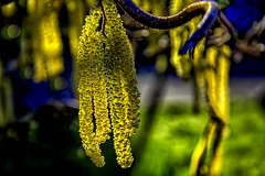 Hazelnut flowers spring messengers (scorpion (13)) Tags: hazelnut flowers spring messengers blossom nature color creative bokeh garden photoart sun shadows