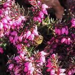 Biene mit Erikageschmack thumbnail