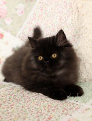 Black Persian Kitten (dollfacepersiankittens.com) Tags: black kittens cats persian for sale doll face felines animals pets photography breeders