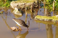 Redshank (Ray. Hines) Tags: pentaxk5ii smcpentaxda18135mmf3556edalifdcwr redshank livingcoast torquay torbay devon coastalzoo bird