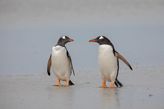 Where shall we go then? (Linda Martin Photography) Tags: gentoopenguin bird saundersisland wildlife southatlanticocean falklandislands pygoscelispapua nature coth through the lens alittlebeauty ngc coth5 npc