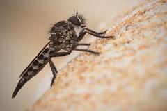 Robber Fly (Asilidae)... HFDF! (Stefan Zwi.) Tags: wildlife southafrica südafrika fly robberfly raubfliege fliege insekt insect fauna animal macro ngc npc